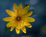 Woodland Sunflower Backlit