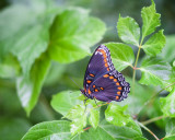 Red-spotted Purple, Side View