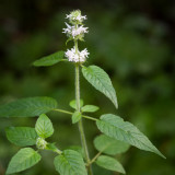 Hairy Wood Mint