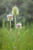 Teasel Triple Header