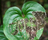 Bristly Greenbrier