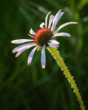 Back-lit Coneflower