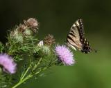 Yellow Swallowtail on Thistle