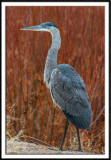 Blue Heron and Willows