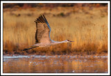 Sandhill Crane in Early Morning Flight