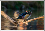 Perched Wood Duck Pair
