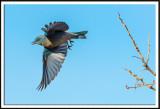 Mountain Bluebird (female) in Flight