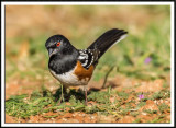 Spotted Towhee Foraging For Food