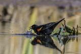 Red Winged Blackbird Bathing