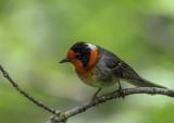 Red Faced Warbler