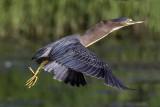 Green Heron Taking Flight