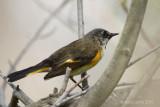 Paruline flamboyanteAmerican Redstart