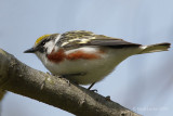 Paruline à flancs marron / Chestnut-sided Warbler