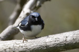 Paruline bleueBlackthroated Blue Warbler