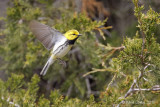 Paruline à gorge noireBlack-throated Green Warbler