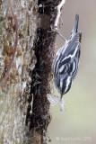 Paruline noir et blancBlack and White Warbler
