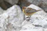 Paruline à couronne roussePalm Warbler