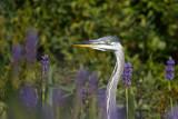 Grand héronGreat Blue Heron