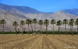 palm trees in field, Thermal, CA