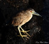 juvenile night crowned heron, Waipuhi Fishpond, Mauna Lani Resort, Big Island, Hawaii