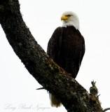 Proud Eagle, Vancouver Island,BC, Canada