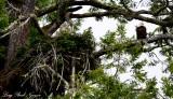 Eagle and Nest, Alma Russell Island, Barkley Sound, Vancouver Island, Canada