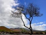 Windswept tree, La Perouse Bay, Maui, Hawaii