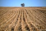 tree on wheat field