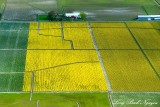 Daffodil Fields, Skagit Valley, Mt Vernon, Washington