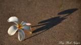 flower and shadow, Big Island, Hawaii