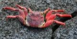 Red Crab, Big Island, Hawaii