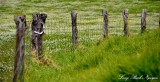 Wooden Fence in Yellow Field, Saddle Road, Big Island, Hawaii