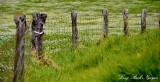 Wooden Fence in Yellow Field, Saddle Road, Big Island, Hawaii