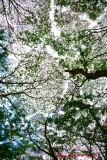 Tree Canopy, Kapoho Road, Pahoa, Big Island, Hawaii