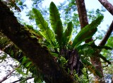 Ferns on tree, Kapoho Road, Pahoa, Hawaii
