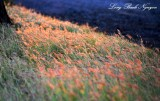 golden grass at sunset, Waikoloa Highway, Big Island, Hawaii