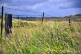 windswept grass, Big Island, Hawaii