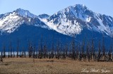 Dead Trees, Turnagain Arm, Mount Alpenglow, Girdwood, Alaska