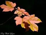 Maple Leaves, Cottage Lake, Washington State