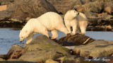 Last Look Polar Bears Hudson Bay Churchill Canada