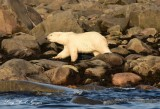Happy Polar Bear Hudson Bay Churchill Canada