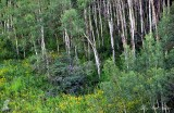 White forest, Colorado