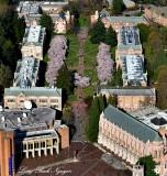 Cherry Blossom, The Quad, Red Square, Suzzallo Library, University of Washington, Seattle
