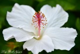 White Hibiscus, Big Island, Hawaii