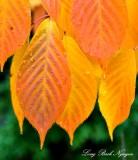 Orange leaves Seattle 069