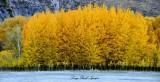 Flaming Aspen in Hailey Idaho 2013