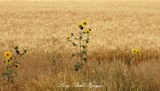 Sunflowers in Wheat Field, Idaho Falls, Idaho 053