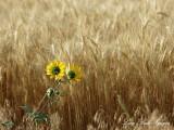 Sunflowers in Wheat Field Idaho Falls Idaho 060