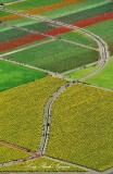 Daffodil and Tulip Farm Skagit Valley Mount Vernon Washington 341