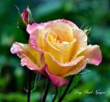 Rose 273